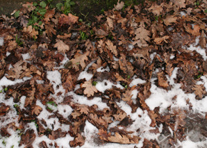 Leaves_on_snow